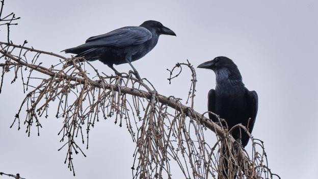 Die Schlaumeier der Lüfte – Begegnungen mit Rabenvögeln