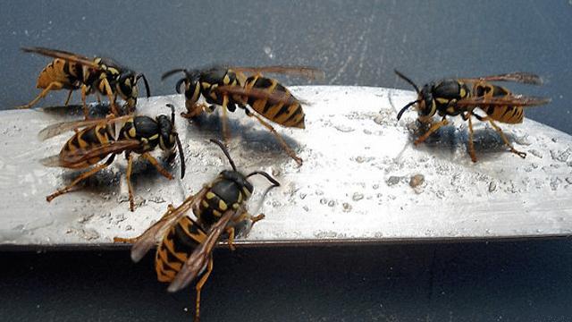 Warum sind Wespen so scharf auf unser Essen?