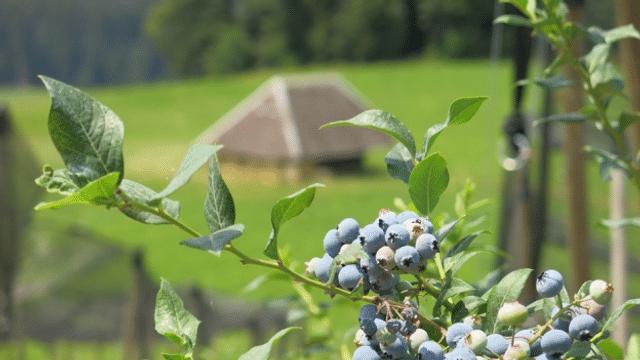 Als der Anbau von Heidelbeeren im Emmental noch belächelt wurde