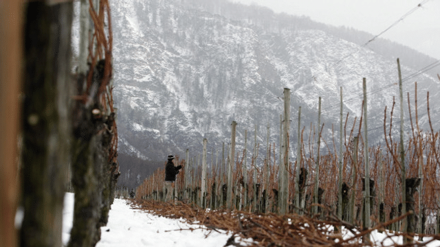 Il viticultur Renzo Hendry sa prepara sin l'onn che vegn