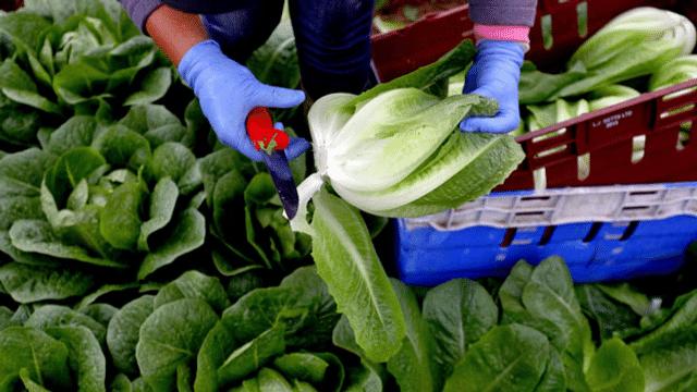 Grossbritannien: Arbeitskräftemangel auch in der Landwirtschaft