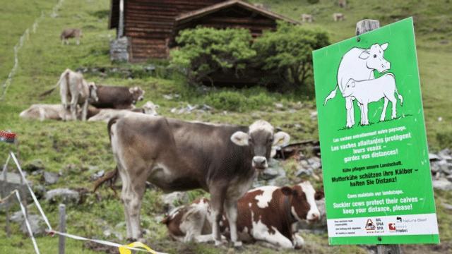 Wanderweg über Kuhweide: kein Einzelfall