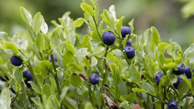 Jetzt Heidelbeeren pflanzen