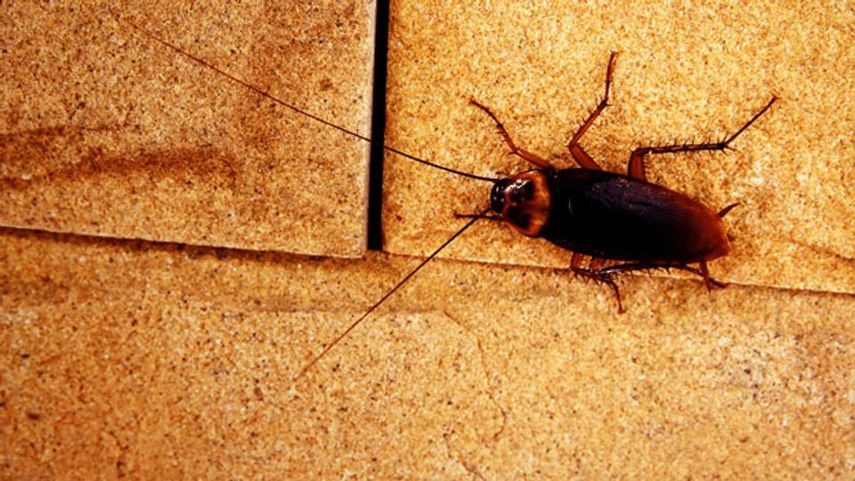 Kakerlaken – Die heimlichen Untermieter