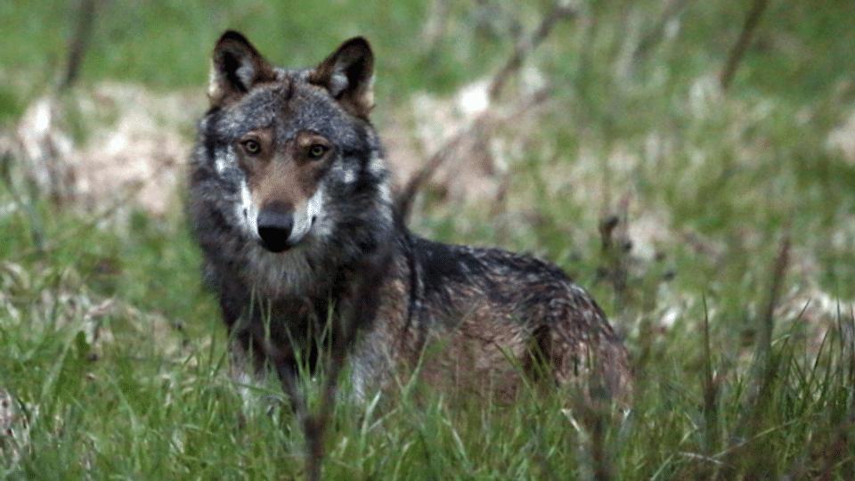 Wie weiter mit dem Wolf?