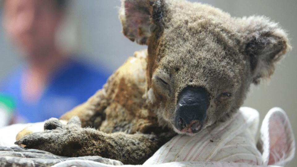Wie viele Arten sterben wegen der australischen Brände aus?
